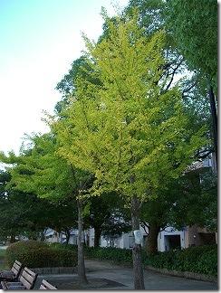 京橋川沿い銀杏の木